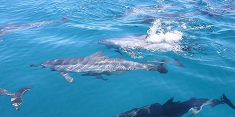 2 dolphins in mauritius