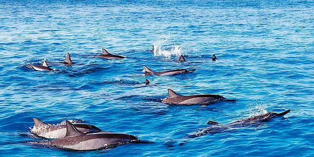 Dolphins of mauritius